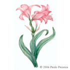 Amaryllis Illustration 1 - colored pencil